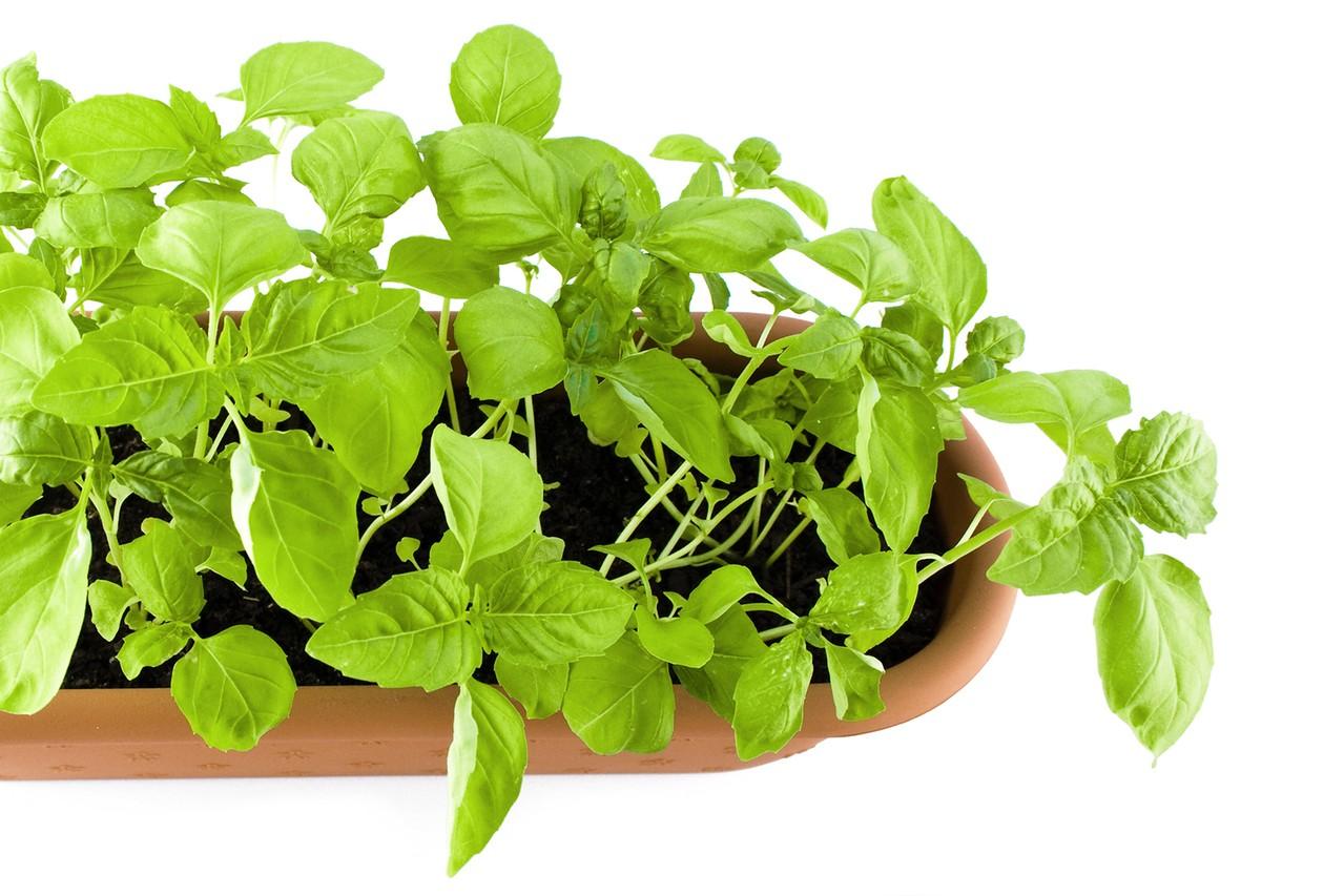 Gorczyca, olejek lawendowy oraz liście prawoślazu – trzy różne substancje i jedno wielkie zastosowanie